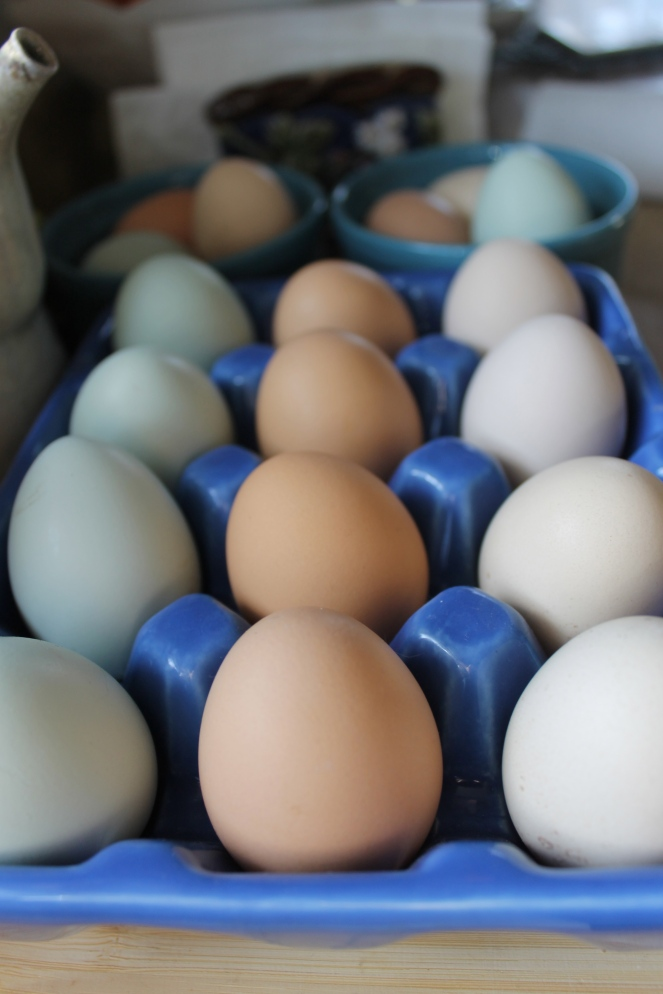 one of our chickens lays blue/green eggs!
